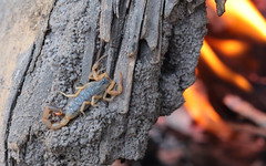 Bark Scorpion (peterkelly) Tags: digital canon 6d africa intrepidtravel capetowntovicfalls botswana okavangodelta fire flame lit wood log campfire scorpion barkscorpion uroplectesvittatus