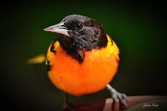 Baltimore Oriole (janagoss32) Tags: lakehuronontario spring2019 closeup male baltimoreoriole