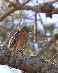 Red-shouldered Hawk (Tom Clifton) Tags: pointlobos