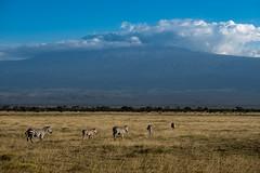Grant's zebras (Nicolas Hoizey) Tags: 56mm africa afrique amboseli amboselinationalpark equidae equusquagga equusquaggabohemi fujifilm fujifilmxt2 fujinon fujinonxf56mmf12r grantszebra kajiado kenya kilimanjaro mammifères mountkilimanjaro nationalpark parcnationaldamboseli xt2 zèbredegrant zèbredesplaines animal animalière horsefamily landscape mammal mammals mammifère montagne mountain paysage plainszebra volcan volcano zèbredeburchell équidés valléedurift
