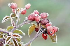 Nature givrée -3- (mamietherese1) Tags: world100f fantasticnature fabuleuse