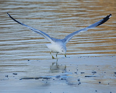 Captain Landing (cameron.tucker) Tags: bird gull water ice flying air winter