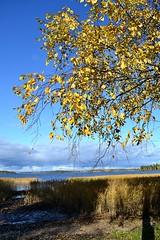 autumn (Jenubell) Tags: nikond3100 nikon nikoncamera nikonworld valokuvausta valokuvaaja photography photographer photooftheday sky taivas autumn syksy lokakuu october nature naturephotography luonto tree yellow ranta vettä water