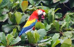 Hellroter Ara (perunasose) Tags: costarica hellroterara vogel ara tier natur