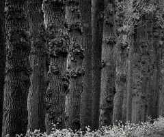 Wood, Twente, the Netherlands (bobbykwibus) Tags: wood hout tree boom forest bos oak eik composition vanishingpoint twente thenetherlands natuur nature