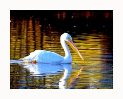 American White Pelican (George McHenry Photography) Tags: bird seabird pelican americanwhitepelican whitepelican south carolina birdssouth