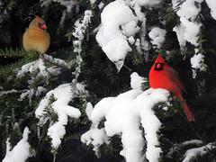 Winter Pair (kfocean01) Tags: winter snow nature bird birds trees ice icicles animal wildlife