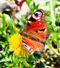 Schmetterling in Deutschland (dieterlo1) Tags: butterfly schmetterling bokeh natur tier flickr nature lebewesen kreaturen