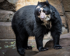 A Pretty Girl (helenehoffman) Tags: spectacledbear bear alba conservationstatusvulnerable andeanshortfacedbear carnivore mountainbear sandiegozoo ursidae mammal southamerica andeanbear tremarctosornatus animal