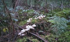 mushrooms (Jos Mecklenfeld) Tags: mushrooms pilzen paddenstoelen forest wald bos nature natur natuur roelagebos terapel westerwolde groningen netherlands niederlande nederland pentaxespio115g pentax espio fujicolorsuperiaxtra400 fujisuperia fujisuperiaxtra400 fuji fujifilm epsonv500 film analog analogue ishootfilm expiredfilm