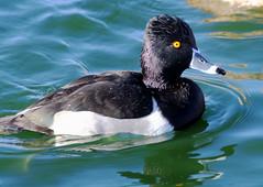 Ring-necked Duck -- Male (Aythya collaris); Albuquerque, NM, Tingley Beach Park [Lou Feltz] (deserttoad) Tags: nature newmexico water park wildlife refuge pond ice waterfowl duck bird wildbird reflection