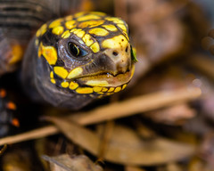 Sentience (risaclics) Tags: mercury eyes redfooted tortoises reptiles shells 60mmmacro nikond610d november2019 eye nose redfootedtortoises