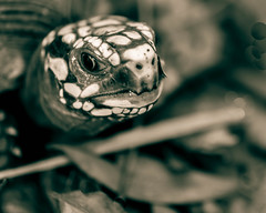 Sentience (risaclics) Tags: mercury eyes redfooted tortoises reptiles shells 60mmmacro nikond610d november2019 eye monochrome nose redfootedtortoises