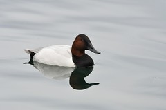 Canvasback, Aythya valisineria (Dave Beaudette) Tags: reidpark tucson pimacounty arizona canvasback aythyavalisineria