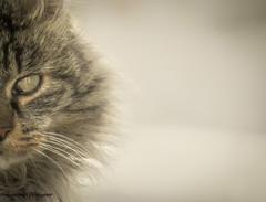 """""""Mi mostro solo per quello che voglio farti vedere"""" (Francesco Masi)  Canon Powershot Sx60 hs (francuccio1972) Tags: cat cats animal animali domestico gatto gatti natura"""