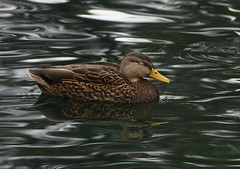 Mexican Duck, Anas diazi (Dave Beaudette) Tags: mexicanduck anasdiazi reidpark tucson pimacounty arizona