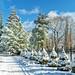 Winter Wonderland (mgstanton) Tags: elmbank snow trees wellesley winter christmastree wonderland