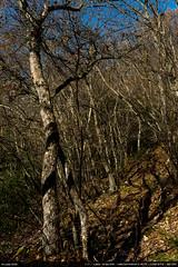Les arbres (Ludtz) Tags: ludtz leica leitz leicamtyp240 m240 rangefinder télémétrique télémètre summicronc40|2 summicron wetzlar salève montagne mountain mountains montagnes alpes alps rhônealpes neige snow automne autumn arbres trees forêt wood trail chemin
