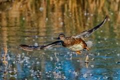 #NATURE (pstrock1) Tags: goldenhour fly nature bird beauty look gadwall sky morning wild wildlife eyes sunlite female wings ducks water