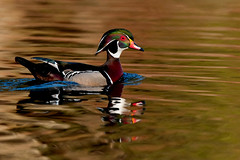 Woodie3Smaller (2) (Rich Mayer Photography) Tags: wood duck woodie woody ducks animal animals nature water fly flying flight avian wild life wildlife nikon