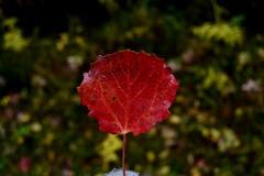 red (Jenubell) Tags: punainen red autumn october lokakuu photographer photography photooftheday valokuvausta valokuvaus lehti nikon nikond3100 nikoncamera camera kamera nikonworld outside nature luonto naturephotography green vihreä color väri värit