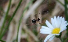 L'instancabile tessitore (Triumplino@rico G.V.T) Tags: macro ragno ragnatela
