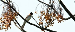 Chestnut bulbul (khoitran1957) Tags: bird nature wildlife wallpaper wide widescreen photography