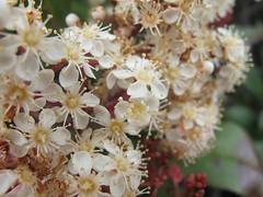 Cluster (kingofowls3) Tags: white flower flowers nature closeup plant