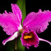 Cattleya percivaliana fma. rubra 'Veneno' (Rchb.f.) O'Brien Gard. Chron., n.s., 20: 404 (1883)