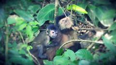 Mom and her Baby (sileneandrade10) Tags: sileneandrade cataratasdeliguazú macaco monkey hoodedcapuchinmonkey sapajuscay cebidae photoshop ps editingphoto artedigital digitalart imageediting animal natureza nature nikon nikoncoolpixp900 effects texture bokeh