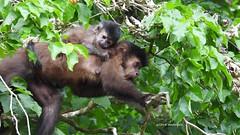 Mom and her Baby (sileneandrade10) Tags: sileneandrade cataratasdeliguazú macaco monkey hoodedcapuchinmonkey sapajuscay cebidae nikon nikoncoolpixp1000 nikoncorporationcoolpixp1000 animal natureza nature effects texture