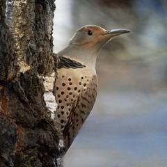Northern Flicker - Red Shafted female (done by deb) Tags: flicker northernflicker birds woodpecker nikoncoolpixp1000