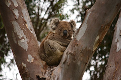 Grunty returns! (nickant44) Tags: grunty koala australia animal tree gum canon 40d 55250mm bokeh