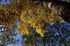 autumn (Jenubell) Tags: photographer photography photooftheday valokuvausta valokuvaaja valokuva nikond3100 nikon nikoncamera nikonworld autumn syksy autumnvibes october lokakuu yellow keltainen nature naturephotograher outdoor ulkona outside luonto puu trees