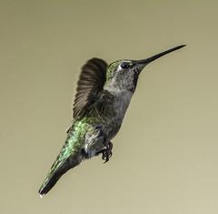 Anna's Hummer Looking For Sugar (Bill Gracey 25 Million Views) Tags: calypteanna hummingbird hummer yongnuo yongnuorf603n manualflash bif birdinflight 6flashsetup backgroundlight tanbackground color colorful