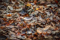 Winter leaves at Baysgarth Park, Barton upon Humber (SteveH1972) Tags: baysgarthpark baysgarth leaves winter 2019 park bartonuponhumber barton uk britain england europe canon5div 5div canon canon70200 70200 nonis outside outdoor outdoors