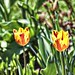 Orillia Ontario Canada ~ Leacock Museum Gardens ~  Tiger Tulip ~ Heritage  Site