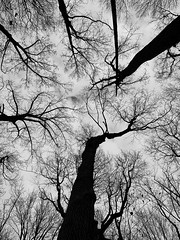 Reaching Up (mswan777) Tags: tree branch up sky cloud outdoor hike forest wood nature silhouette apple iphone iphoneography mobile stevensville michigan monochrome black white ansel detail pattern