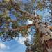 Grey Gum Eucalyptus punctata (317818WLJ) Tags: gum tree eucalyptus australiannative canberra tuggeranong act samsunga70 a70 samsung bluesky sky blue wood bark green leaf
