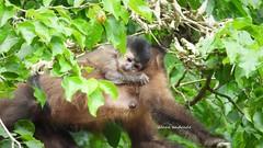 Sweet Little Monkey (sileneandrade10) Tags: sileneandrade cataratasdeliguazú macaco monkey hoodedcapuchinmonkey sapajuscay cebidae nikon nikoncoolpixp1000 nikoncorporationcoolpixp1000 animal natureza nature effects texture