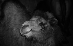 Camel in the NIght (Kumiko Hoshino) Tags: camel zoo lincolnparkzoo chicago holiday night animal