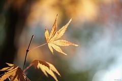 maple leaves (Christine_S.) Tags: fujixt3 xf80mmf28 japan japanesemaple nature closeup bokeh trees tree autumn fall foliage sunlight morning backlight shadows golden gold