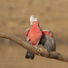 Galah (Eolophus roseicapilla) (Mickspixx) Tags:
