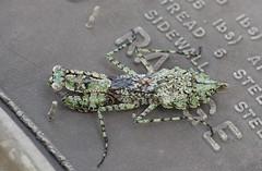 IMGP6637 (redfish1957) Tags: insect praying mantis