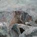 Rock Squirrel (mobull_98) Tags: rock squirrel