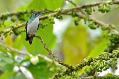 Andean Emerald (Amazilia franciae).  Refugio Paz de las Aves.  Tandayapa Valley, north-western Ecuador. (cbrozek21) Tags: andeanemerald amaziliafranciae ecuador hummingbird picaflor kolibri colibri koliber bird nature green birdwatcher