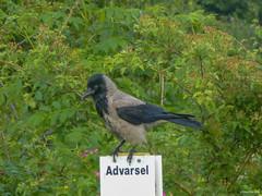 Warning - Hooded crow (peterkaroblis) Tags: animal tier vogel bird denmark grakrage dyr fugl dänemark danmark
