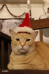 a right jolly old elf (Judecat (Tis the Season!)) Tags: cat feline redtabby catinsantahat christmas holiday floydd merry
