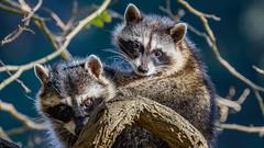 Raccoons (from the archives) (Bob Gunderson) Tags: california goldengatepark mammals northlake northerncalifornia raccoon sanfrancisco wildlife