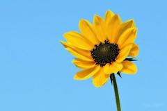 summertime (Yvonne Blokland) Tags: flower summertime summer sunflower